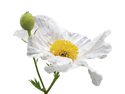 Photograph - White Matilija Poppy On White by Gill Billington