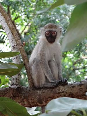 White Monkey In A Tree 5 Art Print