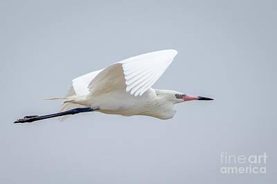White Morph Reddish Egret Art Print by Debra Martz