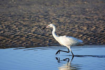White Morph Reddish Egret Art Print by Don Columbus