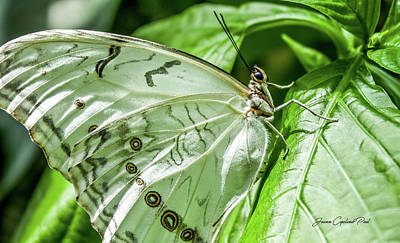 Photograph - White Morpho Butterfly by Joann Copeland-Paul