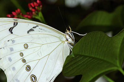 Photograph - White Morpho Butterfly by JT Lewis