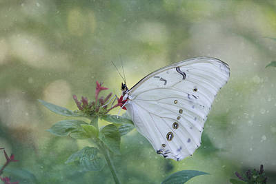 Photograph - White Morpho Butterfly by Kim Hojnacki