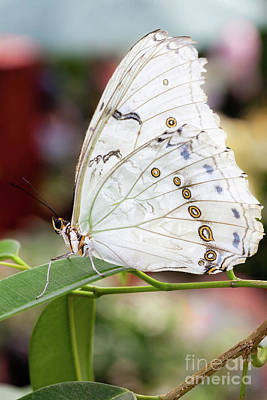 Photograph - White Morpho by Gene Healy