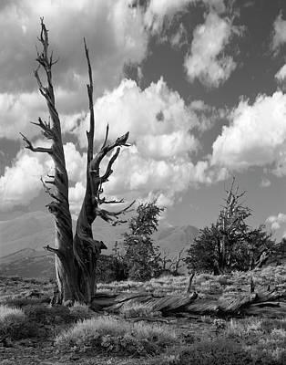 Photograph - White Mt. Bristlecone by John Farley