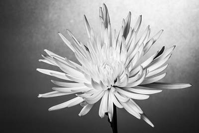 Photograph - white Mum by Jon Glaser