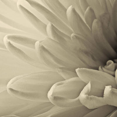Photograph - White Mum by Roger Passman