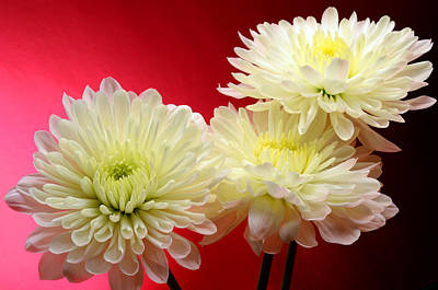 White Mums Against Red Art Print by Laura Mountainspring