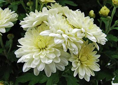 Photograph - White Mums I by Michiale Schneider