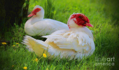 Photograph - White Muscovy Ducks by Elizabeth Winter