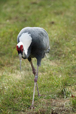 Photograph - White-naped Crane by Janet Pugh