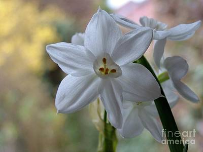 Photograph - White Narcissi Spring Flowers 3 by Joan-Violet Stretch