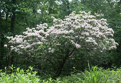 Photograph - White Native Azalea Along The Blue Ridge Parkway by Suzanne Gaff