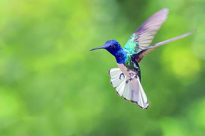 Photograph - White Necked Jacobin Hummingbird by Nadia Sanowar