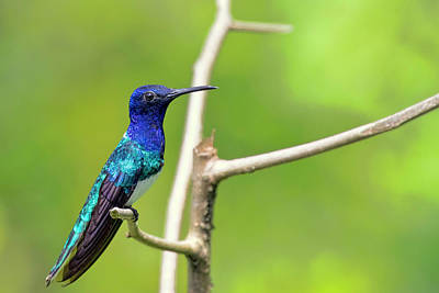 Photograph - White Necked Jacobin by Nadia Sanowar