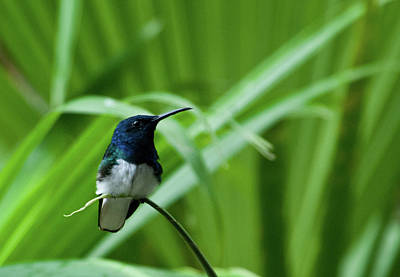 Photograph - White-necked Jacobin With Palm by Cascade Colors