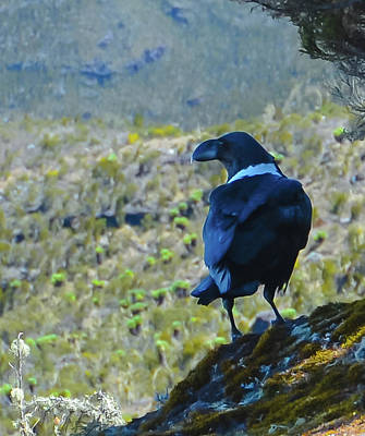 Photograph - White-necked Raven Cliff-side by Jeff at JSJ Photography