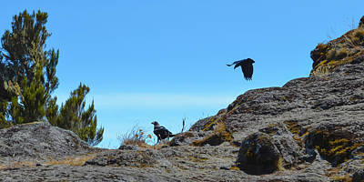 Photograph - White-necked Raven Pair On Kilimanjaro by Jeff at JSJ Photography