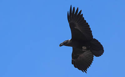 Photograph - White-necked Raven Soaring Along Kilimanjaro by Jeff at JSJ Photography