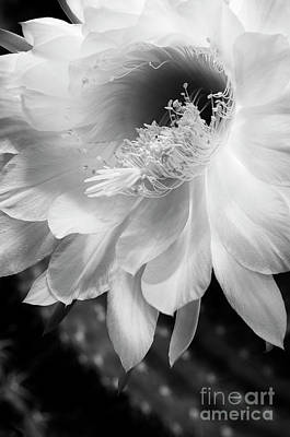 Photograph - White Night Blooming Cactus by Tamara Becker