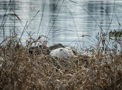Photograph - White Nutria In Nest by Belinda Greb
