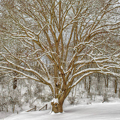 White Oak In Snow Art Print