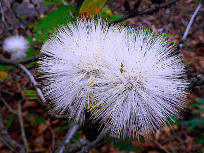 Photograph - White Ohia by Robert Meyers-Lussier