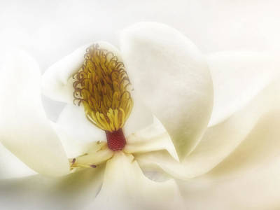 Photograph - White On White Magnolia - Photography by Ann Powell