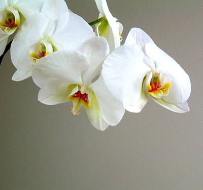 Photograph - White Orchid 1 by Douglas Pike