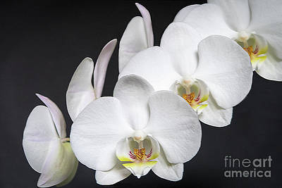 Photograph - White Orchid by Ann Horn