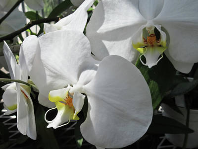 Photograph - White Orchid Bloom Duo by Tony Grider