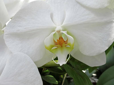 Photograph - White Orchid Bloom by Tony Grider