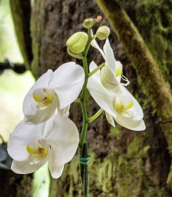 Photograph - White Orchid by Bonnie Davidson