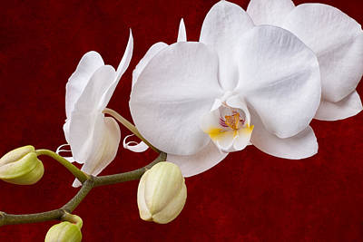 White Orchid Closeup Art Print by Tom Mc Nemar