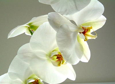 Photograph - White Orchid by Douglas Pike
