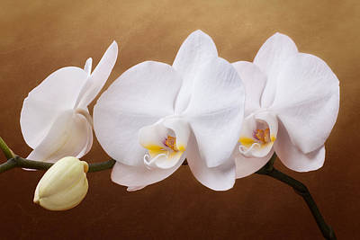 White Orchid Flowers And Bud Art Print by Tom Mc Nemar