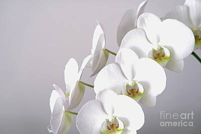 Photograph - White Orchid In Bloom by Ann Horn