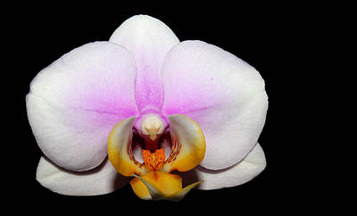 Photograph - White Orchid by Judy Vincent
