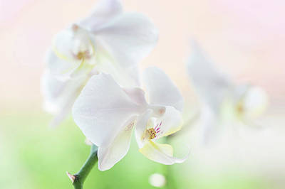 Photograph - White Orchid Macro 21. Series Elegance by Jenny Rainbow