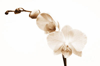 White Orchid Art Print by Mindy Sommers