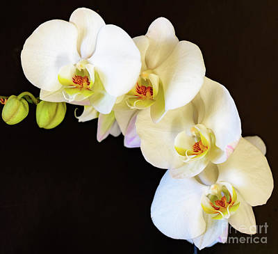 Photograph - White Orchid Plant by Colin Rayner