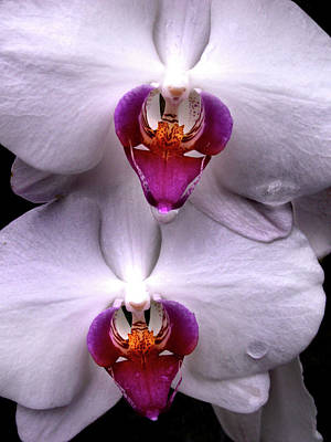 Photograph - White Orchid Twins by Nancy Griswold