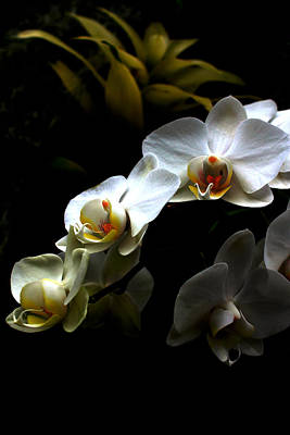 White Orchid With Dark Background Print by Jasna Buncic