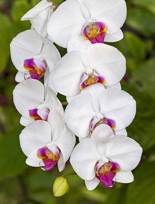 Photograph - White Orchids by Bob Slitzan