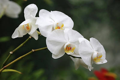 Photograph - White Orchids Dow Gardens 2 062618 by Mary Bedy