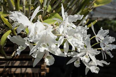 Photograph - White Orchids by Georgia Mizuleva