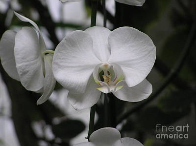 Photograph - White Orchids by Mary Kobet