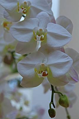 Photograph - White Orchids by Michiale Schneider