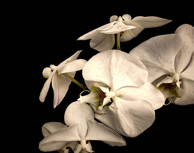 Photograph - White Orchids On Black - Photography by Ann Powell