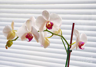 Mixed Media - White Orchids On White by Ari Salmela